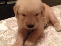 We currently have 7 golden retriever puppies offered. 3