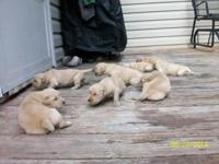 AKC GOLDEN RETRIEVER PUPPIES FOR SALE THAT ARE NOW 2