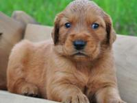 If AKC Golden Retriever Puppies with a couple of males