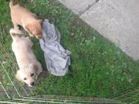 I have two female golden pups available 8 1/2 weeks