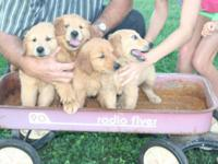 AKC Golden Retriever puppies ... 3 females/1 male left