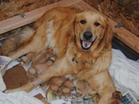 Golden Retriever pups born August 10, 2014. They will