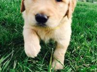 AKC Golden Retriever young puppies due September 26,