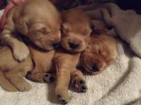 AKC signed up Golden Retriever young puppies. 6