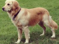 8 Female & & 3 Male Golden Retriever Puppies AKC