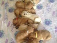 Litter of 9 beautiful healthy golden puppies born upon
