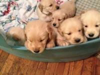 AKC golden retriever puppies, will be ready to go home