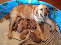 AKC Golden Retriever puppies. Born on January 20th,