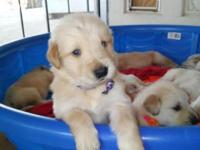Beautiful akc register golden retriever puppies