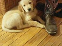 AKC Registered Golden Retriever puppies for sale. 6