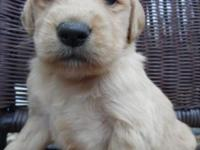 READY TO GO APRIL 13TH!!! Five gorgeous Golden