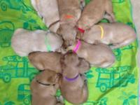 We currently have a Beautiful New Litter of AKC
