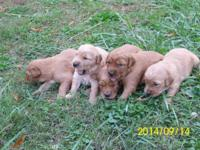 We have 10 Golden Retriever puppies for sale. They are