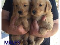 AKC golden retriever puppies. Puppies will be ready to