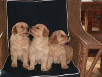 Our adorable, AKC registered, farm-raised puppies are