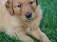 Hello, we have for sale a litter of golden retriever