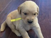 Golden Retriever,6 Male, 5Female, $1,500.00 Mom is akc