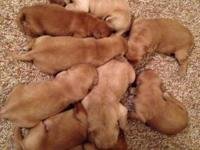 We have a wonderful litter of AKC Golden Retriever