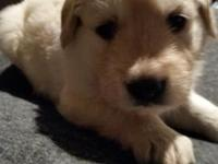 AKC Golden Retriever Puppies! They will be light in
