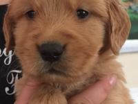 AKC Golden Retriever puppies are ready Nov 5. Raised in