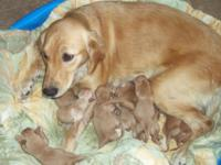 Adorable AKC Golden Retriever puppies born October 27,