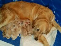 Adorable AKC Golden Retriever Puppies for sale. Holmes