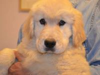 Simply Outstanding AKC Golden Retriever Puppies! Too