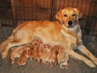 Ten Beautiful AKC Golden Retriever puppies - (5 Males &