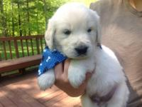 BEAUTIFUL AKC English Cream Golden Puppies for sale.