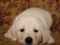 AKC Golden Retriever Puppies! 3/4 English Cream -