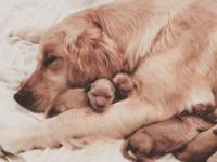 We have a litter of 8 AKC Golden Retriever puppies born