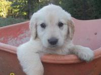 Beautiful AKC registered GOLDEN RETRIEVER puppies for