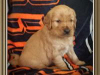 Great Plains Goldens ... GPG. We have 4 AKC Golden