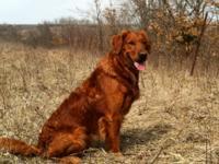 AKC Field Bred Golden Retriever puppies, Excellent