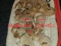 Gorgeous AKC Golden Retriever new puppies. Will be