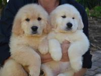 Absolutely Gorgeous AKC Golden Retriever Puppies