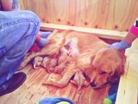 We have 7 female and 3 male Golden Retriever puppies