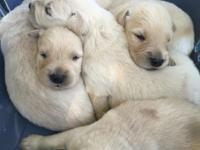 Akc Golden retriever puppies ready to go the week of