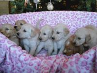 Our family of 6 chose to have a litter of golden