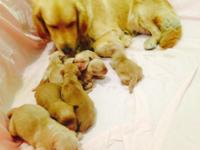 AKC GOLDEN RETRIEVER PUPPIES! This is Mia and Gunner's