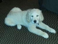 I have a 5 month old male golden retriever puppy for
