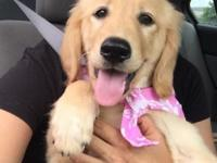 Hi, I have a female golden retriever puppy. We got her