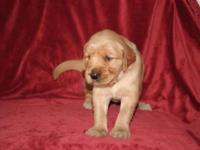 AMERICAN KENNEL CLUB Golden Retriever puppy. Now