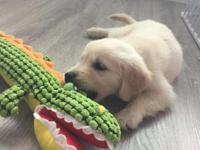 Really cute 8 weeks golden retriever male puppy. Mom is