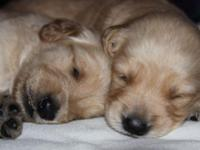Both of the parents of these dogs are AKC Goldens.(Mom