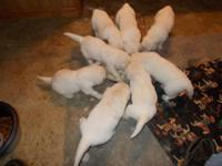 we are taking deposits on male British Cream Golden