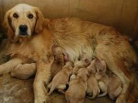 AKC Golden Retrieve pups. 1 Males (sold), 7 Females