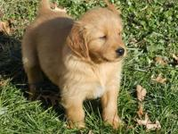 AKC Golden Retriever pups, they have been given their