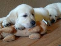 Two AKC Golden Retriever male pups. Will come with AKC