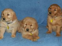 AKC Golden Retriever Pups, These pups have had shots,